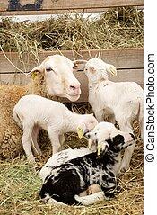 Sheep close up - Close-up of a flock.