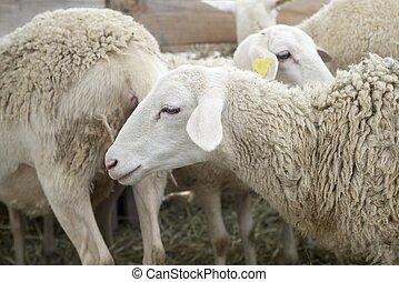 Sheep close up - Close-up of a sheep.