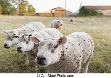 Sheep, closeup of rams in a field in UK - Male sheep, faces ...