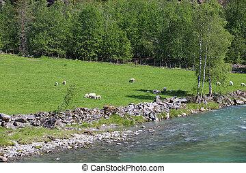 sheep, comer, capim, ligado, campo