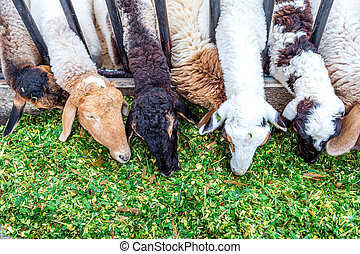 sheep, comida, grass.
