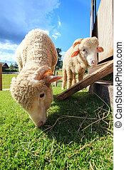 sheep, comida, rancho, arriba, cara, campo, verde, cierre, merino, pasto o césped