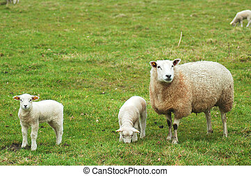 sheep, corderos