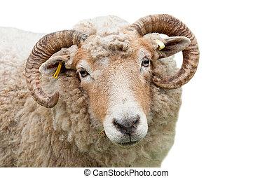 sheep, corna
