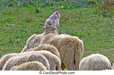 Sheep crying and calling others
