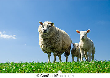 sheep, curioso, corderos