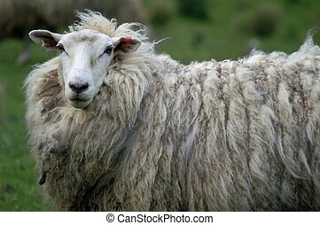 Sheep - Curious sheep in New Zealand