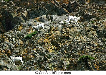 sheep, dall