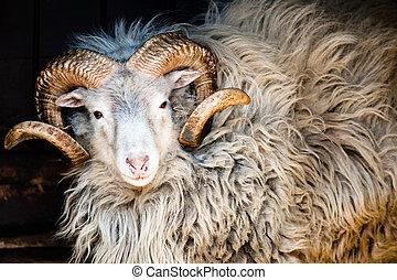sheep, dalls, grande, chifres