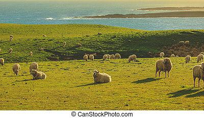 sheep, declive, zelândia, ilha, ponto, campo, verde, durante, novo, pôr do sol, sul