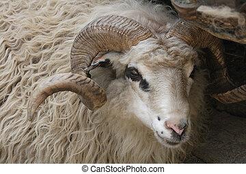sheep detail of very nice animal from ZOO