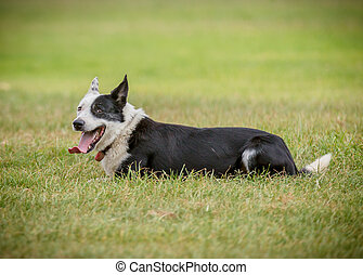 sheep dog 4 - sheep dog resting on the grass