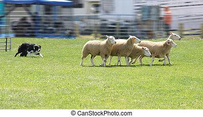 Sheep Dog 4950 - border collie