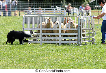 Sheep Dog 4962 - border collie at work