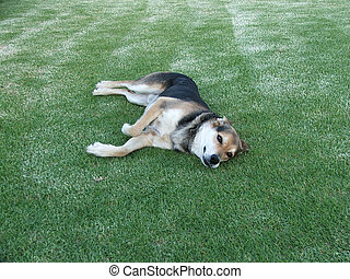 Sheep Dog - A farm sheep dog rests on the lawn after a hard ...