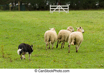 Sheep Dog and Sheep - Welsh border collie sheepdog rounding ...