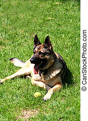 Sheep-dog - Digital photo of a german shepherd dog.
