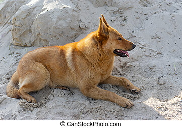Sheep dog lying in the heap of sand