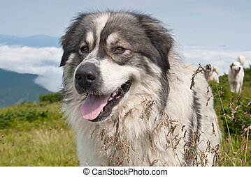 Sheep dog on mountain pasture - Portrait of sheep dog on ...