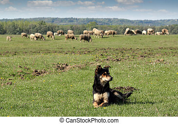sheep-dog - sheepdog and herd of sheep in background
