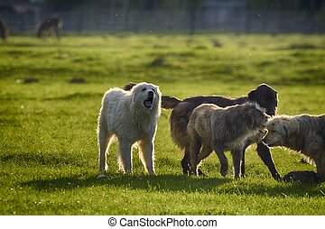 Sheep dogs playing in the meadow