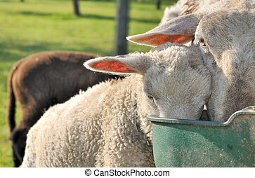 sheep drinking in trough
