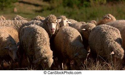 Sheep eat grass on meadow. Animals walk on field. Grazing of...
