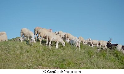 Sheep eat grass on the green meadow and blue sky