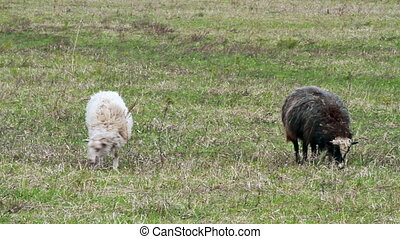 Sheep eat grass. The first spring grass