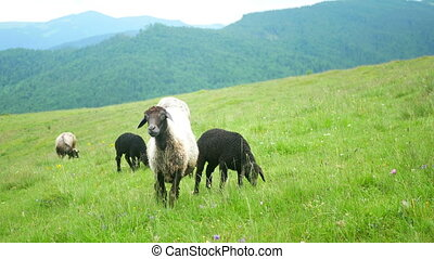 Sheep eat mountain graze - Sheep eat grass on top mountain...