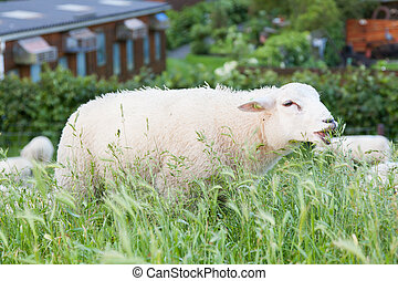 Sheep eating from the long grass