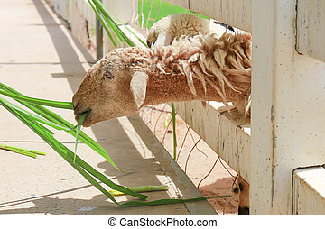 Sheep eating grass at farm field in countryside of thailand