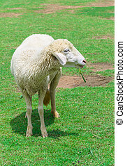 sheep eating grass in a meadow