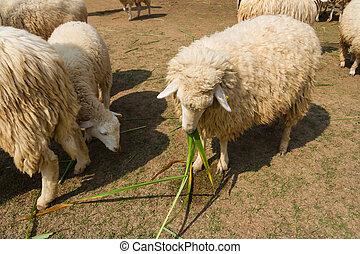 Sheep eating grass