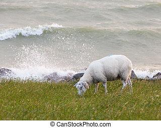 Sheep eating grass on a dike