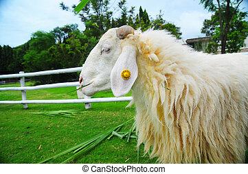 Sheep eating grass on beautiful green glass field