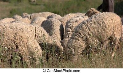 Sheep eating grass.