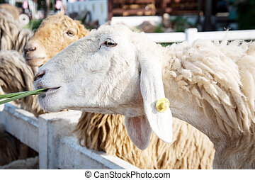 sheep eating green grass at the farm