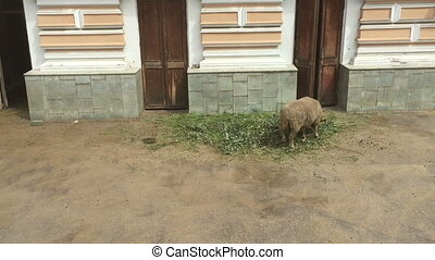 Sheep eating green grass out of the trough. - Sheep eating...