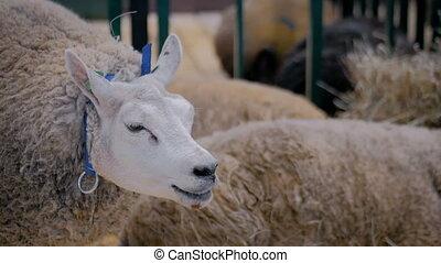Sheep eating hay at animal exhibition, trade show - close up