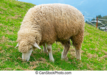 Sheep eating on green glass standing