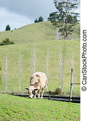 Sheep eats green grass on the hill