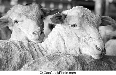 sheep, efter, klippingen