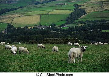sheep, em, campo