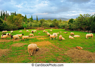sheep, em, pasto