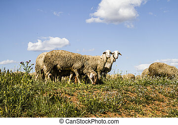 sheep, em, trigal, e, verão, liberdade