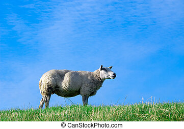 sheep, en, fresco, hierba verde