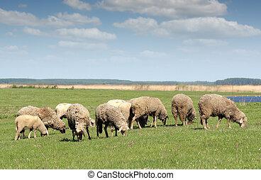 sheep, en, pasto, granja, escena
