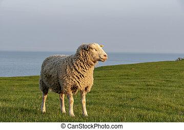 Sheep enjoying the evening sun