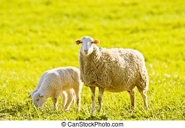 sheep, eredet, bárány, különféle, legelő